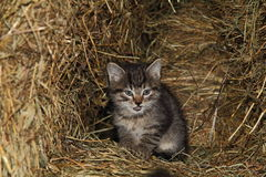 Little cat. Litte grey cat in hay feeder Royalty Free Stock Photos