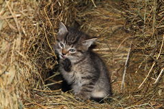 Little cat. Litte grey cat in hay feeder Stock Image