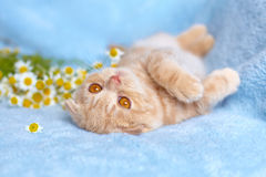 Little cat lying on back Stock Image
