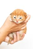 Little cat Mały kotek. Little red kitten in her hands held Royalty Free Stock Image