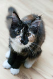 Little cat - Maine Coon Stock Photography