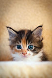 Little cat - Maine Coon. A beautiful little kitten with big blue eyes Stock Photos