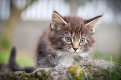 Little cat - Maine Coon. Beautiful little fluffy kitten sitting on a tree trunk Stock Photography