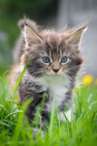 Little cat - Maine Coon. Beautiful little fluffy kitten on green grass Royalty Free Stock Images