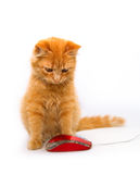 Little cat with mouse. Isolated on white Royalty Free Stock Photo