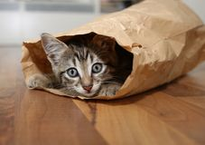 Kitten in a paper bag. Playful kitten inside a paper bag playing hide and seek. This is a mixed breed gray brindle male cat, eight weeks old. He enjoys hiding in Stock Images