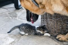 Little cat is playing with a big dog. royalty free stock photos