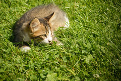 Little cat playing in the grass.  Stock Photo