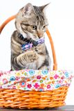 Little cat with bow tie Royalty Free Stock Photos