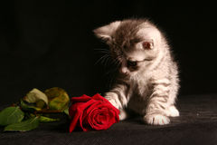 Little cat with red rose. Over black royalty free stock photography