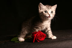 Little cat with red rose. Over black stock photo