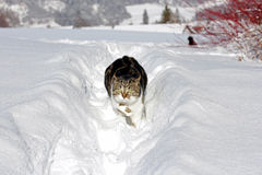 Little cat running happily through the snow Royalty Free Stock Photos