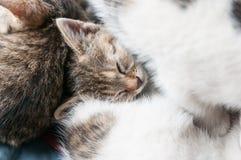 Sleeping kitten cuddled up to mother stock image