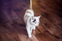 Little cat is walking around at home. White little cat is walking around at home Stock Photography