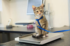 Little cat on weight scale Royalty Free Stock Images