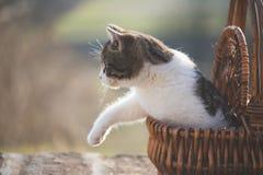 Little cat in wicker basket Royalty Free Stock Image