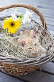 Little cat in wicker basket royalty free stock images