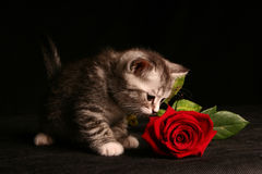 Free Little Cat With Red Rose Stock Photography - 9426502