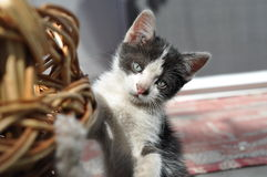 Little cat. He is always wondering around and always teases her sister Royalty Free Stock Photo
