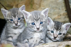 Little cats. Blue eyes little cat looking for her mom, soko spa, Serbia Stock Image