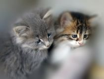 Little cats. Two curiosity little cats royalty free stock photo