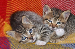 Little cats Royalty Free Stock Image