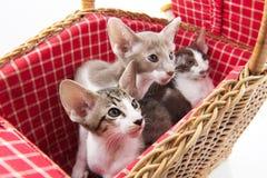 Little cats hiding in picnic basket. Little cats hiding in wicker picnic basket Royalty Free Stock Photos