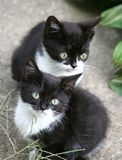 Little cats. Two little black and white cats Stock Photo
