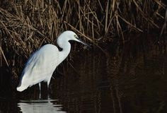 Little cattle egret and his reflection in the water. Stock Images