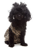 Little Cavewoman. A hairy poodle, isolated on a white background, wears an animal print dress and is so furry her face is barely visible, but cute nonetheless Royalty Free Stock Photo