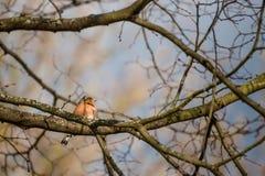 Little Chaffinch bird on brunch in summer season Royalty Free Stock Photos