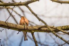 Little Chaffinch bird on brunch in summer season Stock Photography