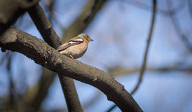 Little chaffinch sitting on a branch.  Stock Photos