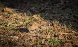 Little chaffinch sitting on the ground. Little chaffinch sitting on the ground Royalty Free Stock Photography