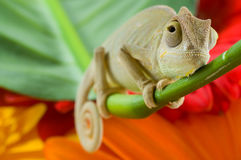 Little chameleon Stock Photography