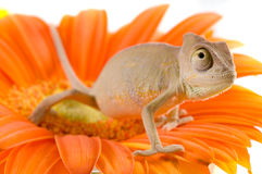 Little chameleon Royalty Free Stock Photo