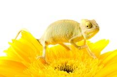 Little chameleon Royalty Free Stock Photography