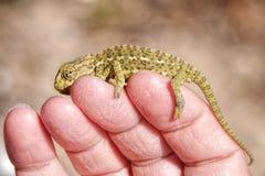 Little Chameleon Royalty Free Stock Photos