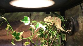 Little chameleon sits on a branch. In the terrarium stock video