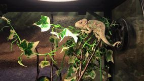 Little chameleon sits on a branch. In the terrarium stock video footage