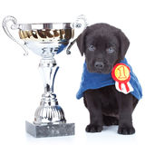 Little champion. Cute black labrador puppy winning a big trophy on white background Stock Image