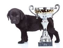 Little champion. Side view of a cute black labrador puppy standing behind its big cup stock photography