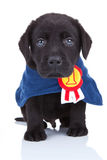 Little champion. Cute black labrador puppy wearing a champion's cape on white background royalty free stock photography