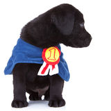 Little champion. Cute black labrador puppy wearing a champion's cape and looking to its side stock photo