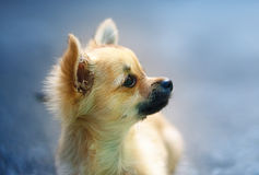 Little charming adorable chihuahua puppy on blurred background. Profile portrait. Royalty Free Stock Photo