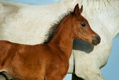Little arabian bay foal portrait with mother body close-up royalty free stock images