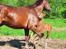 Little  chestnut foal with mom. funny shot Royalty Free Stock Images