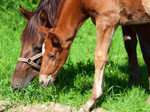 Little  chestnut foal with mom. Stock Image