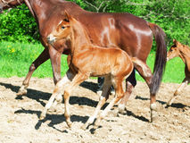 Little  chestnut foal in movement Royalty Free Stock Images