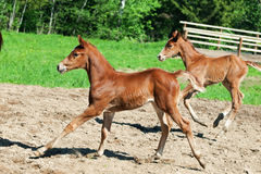 Little  chestnut foals of sportive breed in movement Stock Images